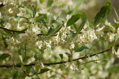 Fragrant autumn olive flowers