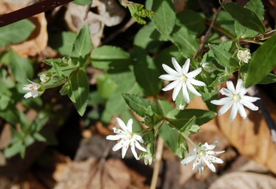 Star chickweed flowers