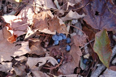 Wild grapes on the ground