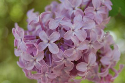 Lilac flowers, up close