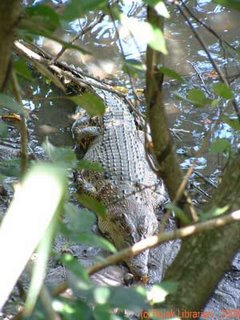 estuarine crocodile