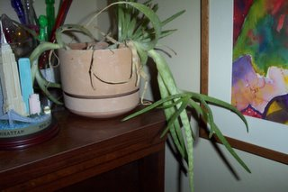 Is it just me, or does it look like the aloe vera is trying to escape?