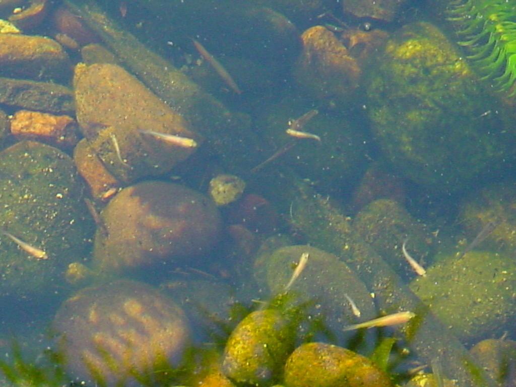 My So Called Pond Life: July 05 Pond-koi, Minnows