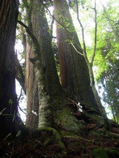 Giant cedars, Kibune