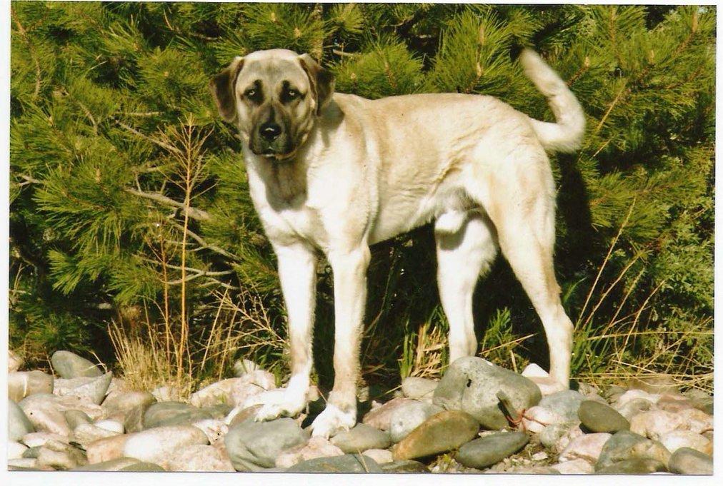 Tales of Anatolian Shepherds : A Turkish Dog: Mr. Mookie!
