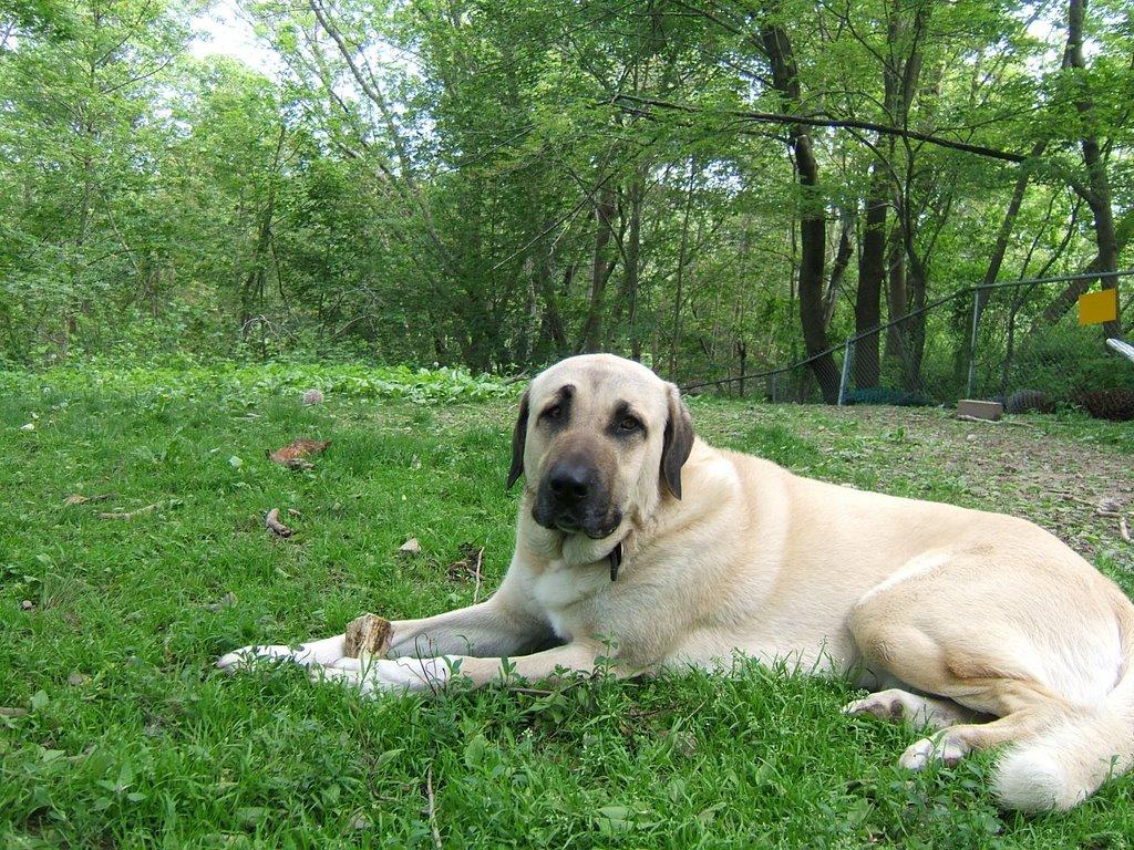 Tales of Anatolian Shepherds : A Turkish Dog: June 2006