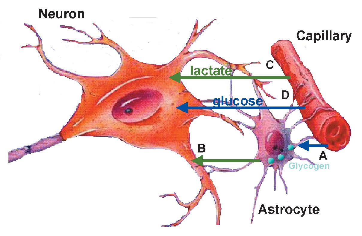 Astrocyte Cell Diagram | www.pixshark.com - Images ...