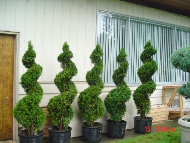 Landscaping Topiary April 2006
