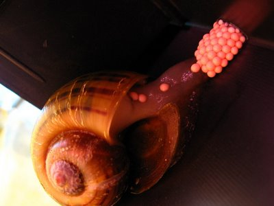 escargot jaune aquarium