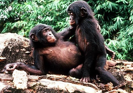 How do apes have sex