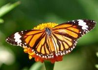 Insectos (lepidoptero), Reino Animalia