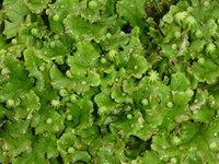 Flora acuática, Reino Plantae