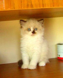 BKH Katzenbaby bicolourpoint 10 wochen