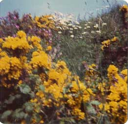 Blurred gorse bush, May 1975