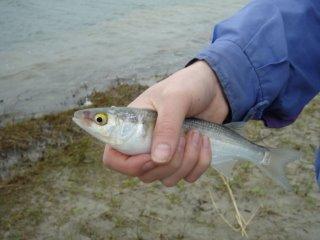 tangimoana fishing herring