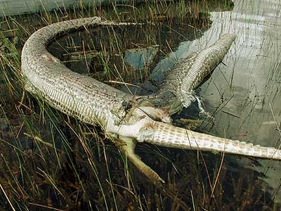 python vs crocodile in the everglades picture photo