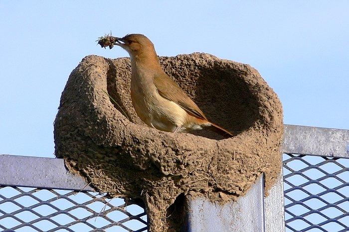 Resultado de imagen para Pájaro Hornero