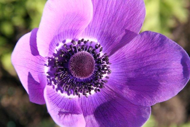 purple poppy meme