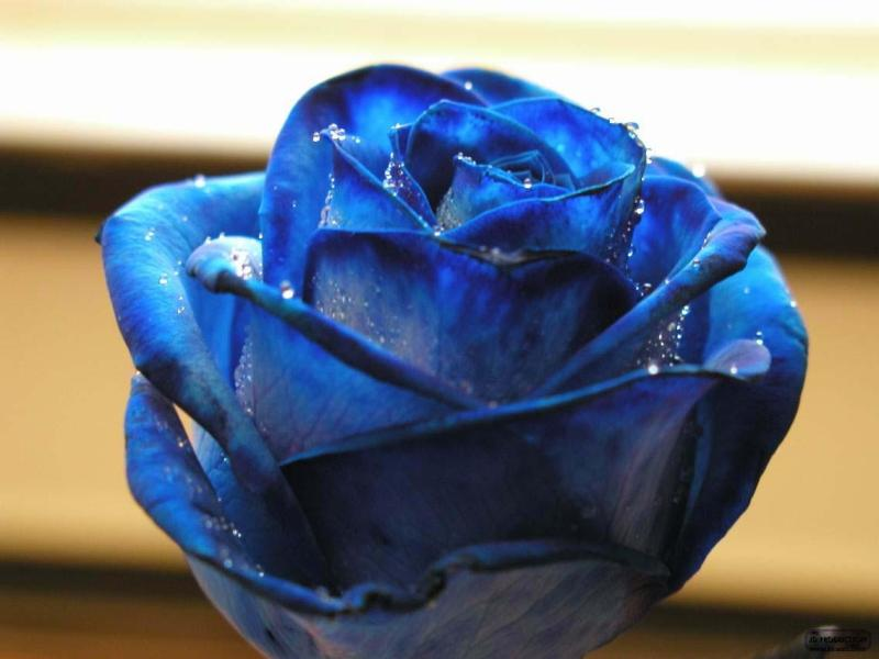 Lovely Flowers Collection Flowers In Rain Blue Rose