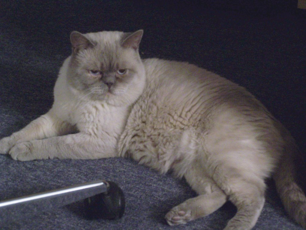 Magnacatta British Shorthair Cats: December 2005