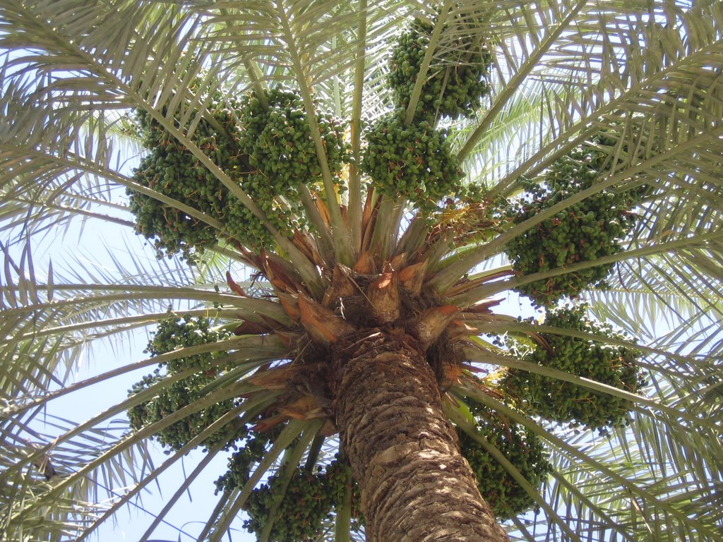 Thoughts From Baghdad Date Palms