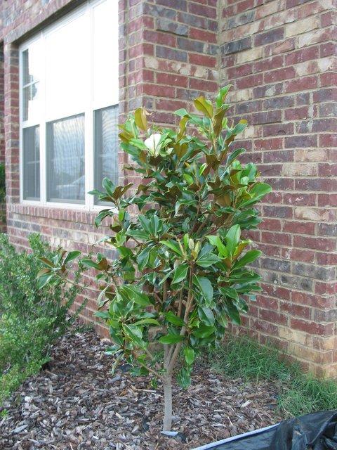 Kellys Korner Sweet Magnolia