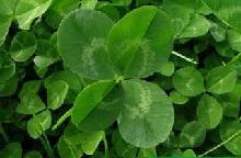 Trevol de 4 hojas