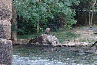 A Juvenile Griffon Vulture