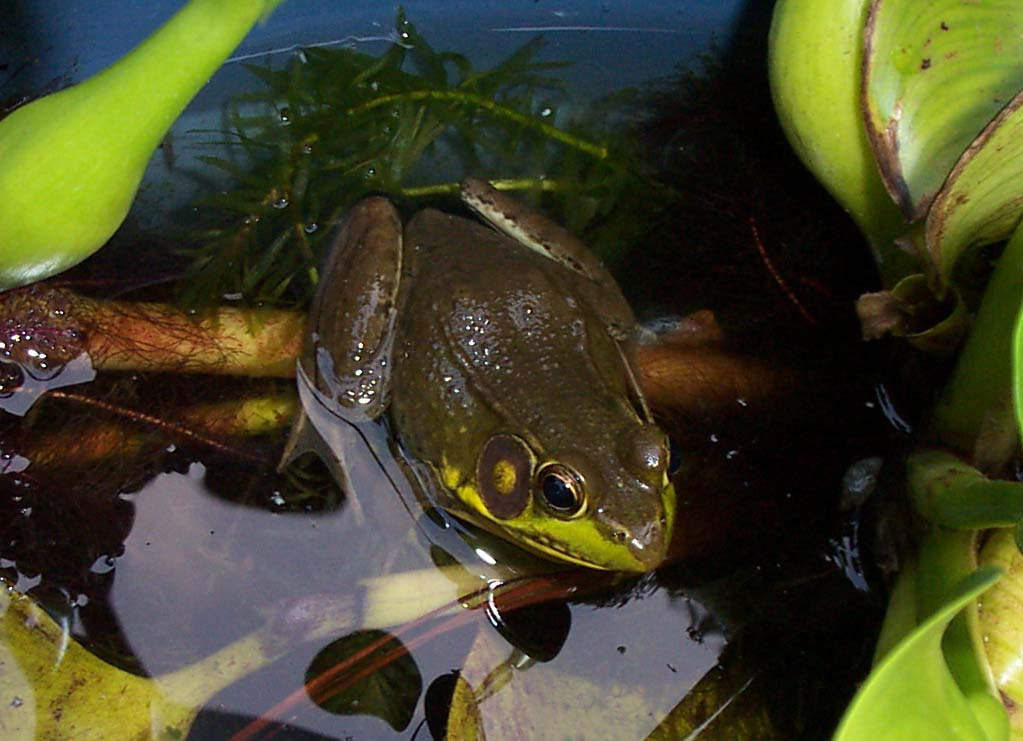 Backyard Pond: Frogs in the Buckets
