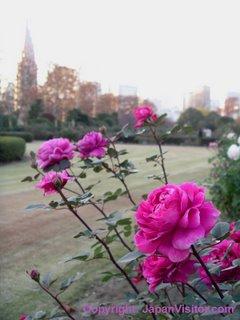 Roses in Shinjuku Gyoen Park.