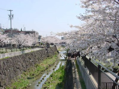 Cherry trees in full bloom along the Yamazaki River, Mizuho-ku, Nagoya