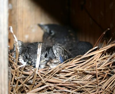 bluebird babies in nest