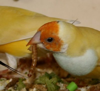 gouldian finch eating meal worm