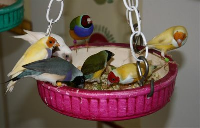 gouldian finch breakfast
