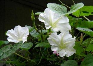 Genji S Flowers Chapter Four The Twilight Beauty