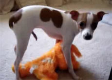 Dog Humping The Cat Gif