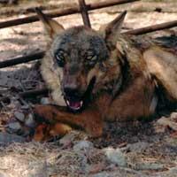 Oveja atacada por un lobo