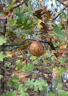 Gall on a valley oak tree