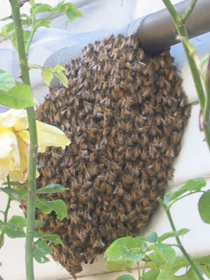 Photo of a swarm of honeybees