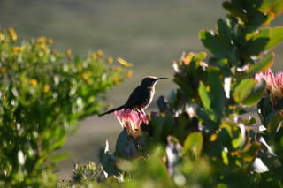 Sugarbird on Protea
