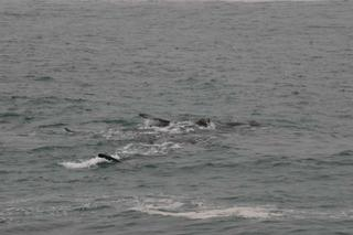 A lot of whales