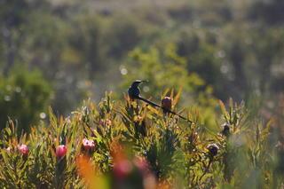 Cape Sugarbird - male