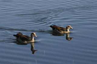 Egyptian geese in the nature reserve