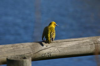 Weaver bird taking a breather from his hard work