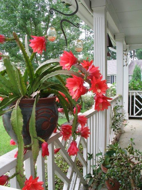 2sides2ron Orchid Cactus Perhaps