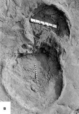 Sauropod Tracks Muton: Sauropod tracks