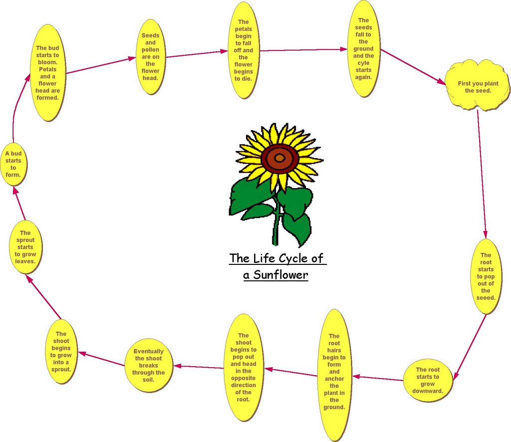 Workbooks plant worksheets ks1 : Plant Life Cycle Diagram For Kids Worksheet Free Worksheets ...