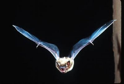 Speeding bat. A bat swerves so suddenly that its reactions cannot be explained in terms of a neural rate code.