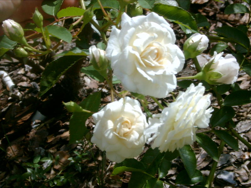 Prosperity Is A Hybrid Musk Rose Very Vigorous Free Flowering That Pulls Out All The Stops In Early March It Continues To Bloom Albeit Spottily