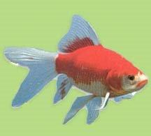 Healthy Goldfish in a Biorb: April 2006